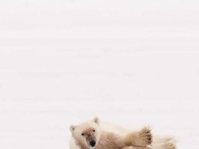 Polar Bear - Roll Over