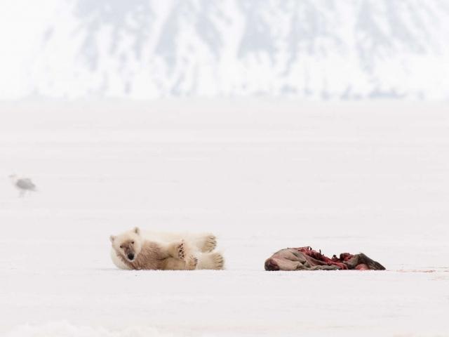 Polar Bear - With Seal Kill