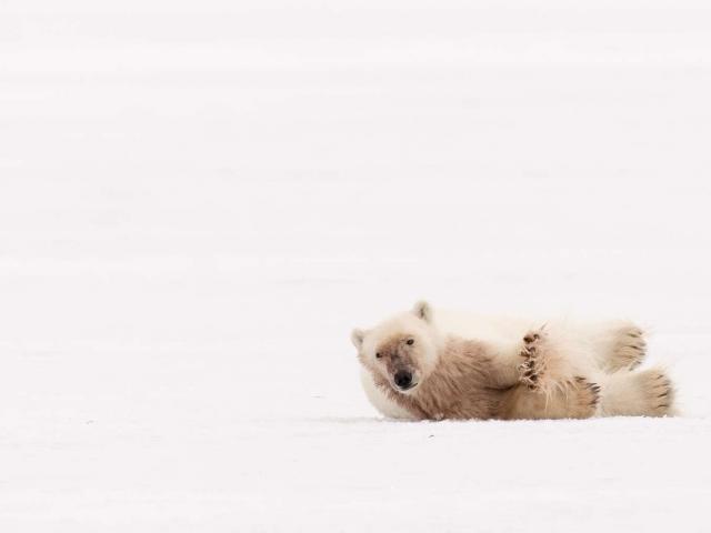 Polar Bear - Stretched Paw