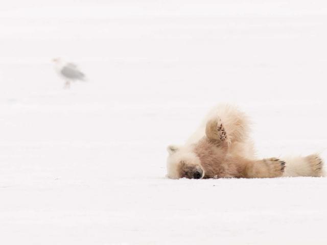 Polar Bear - Lazy Roll