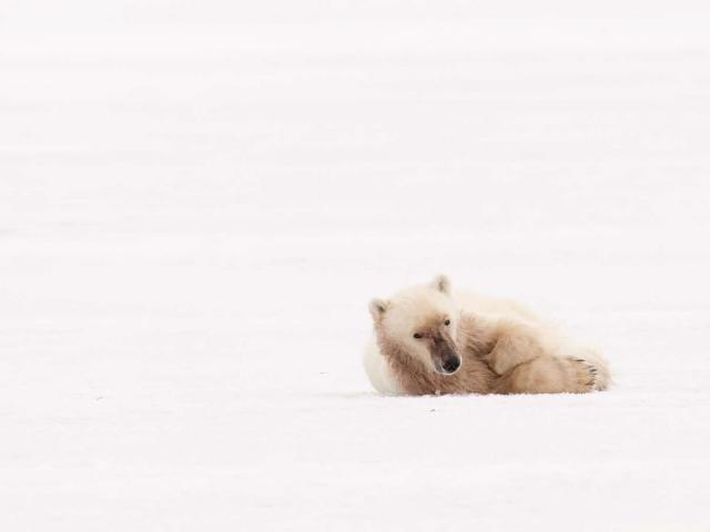 Polar Bear - Studying The Menu