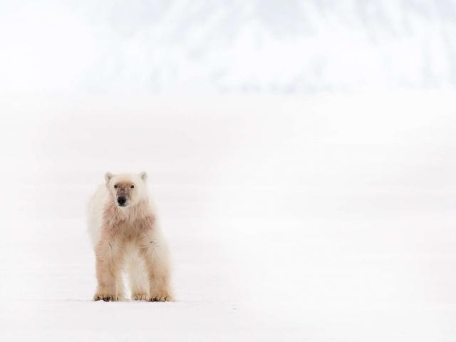 Polar Bear - Standing Proud