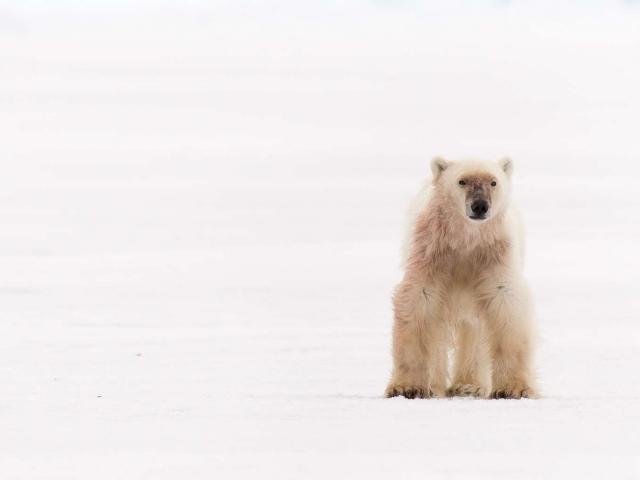Polar Bear -  Looking for Dinner