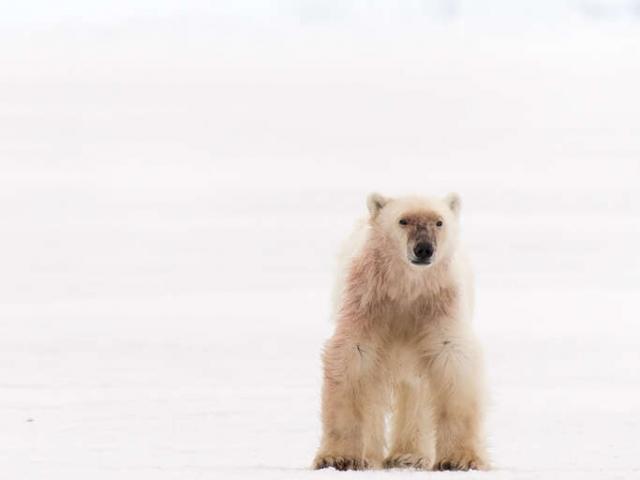 Polar Bear - Ready to Hunt