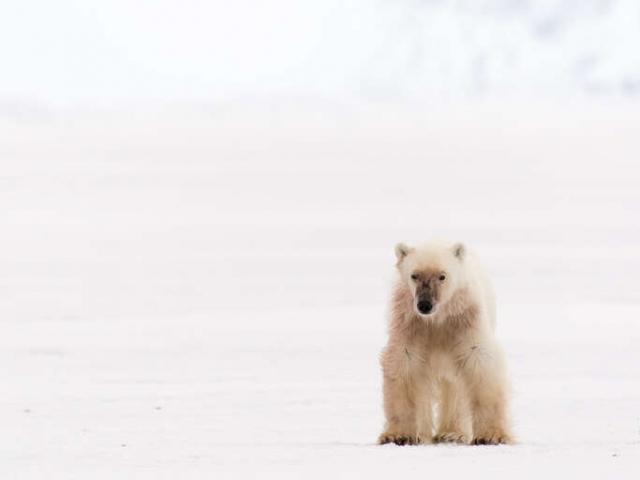 Polar Bear - Forlorn Hunter