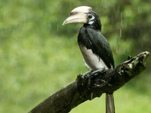 Greater Pied Hornbill - Will it Ever Stop Raining