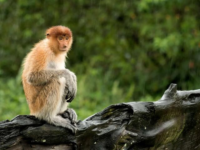 Proboscis Monkey - Its raining