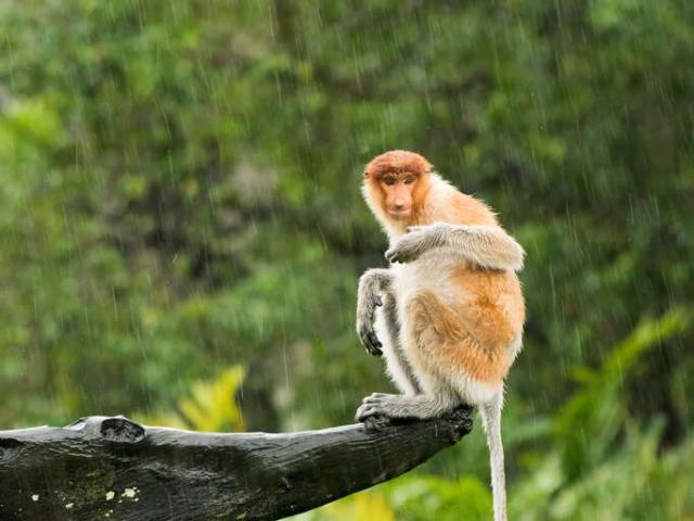 Proboscis Monkey - Will it ever stop raining