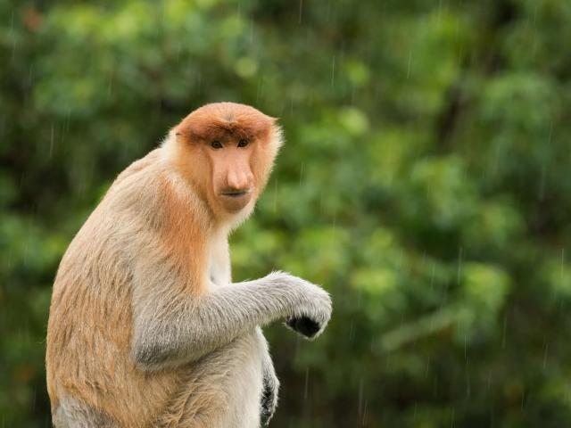 Proboscis Monkey - Brown Eyes