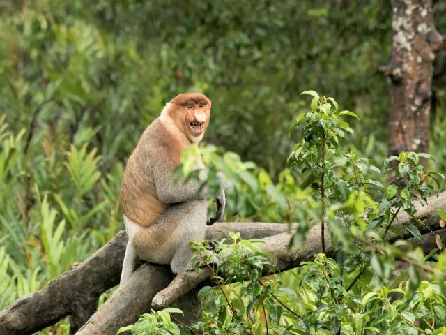 Proboscis Monkey - That's fun