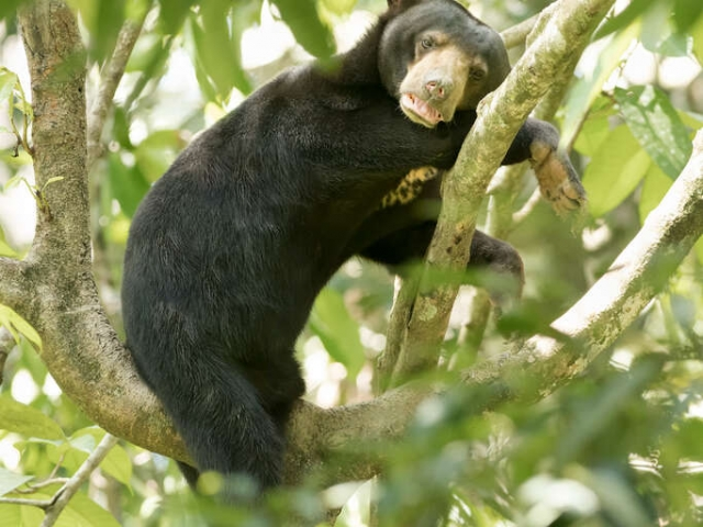Sun Bear - Resting in the Tree
