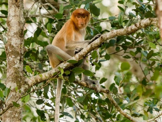Proboscis Monkey - High in the tree