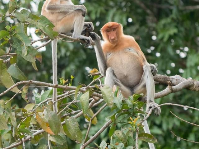 Proboscis Monkey - Two's Company