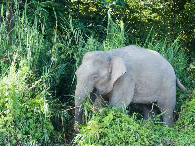 Borneo Elephant - Out of the Bushes