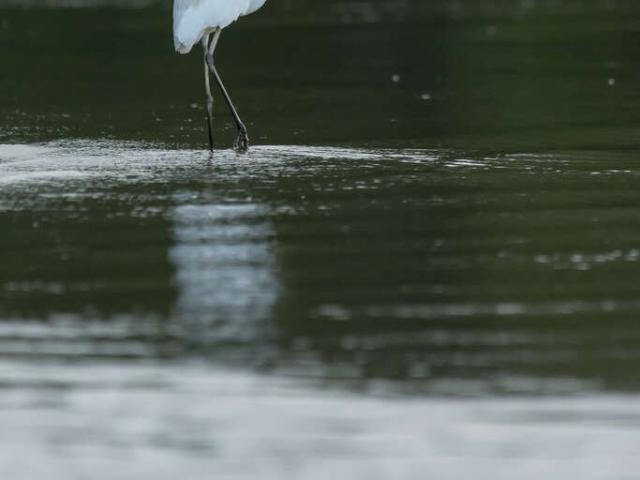 Intermediate Egret - Reflection