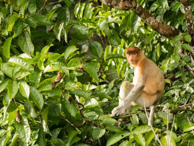 Proboscis Monkey - Resting on a branch