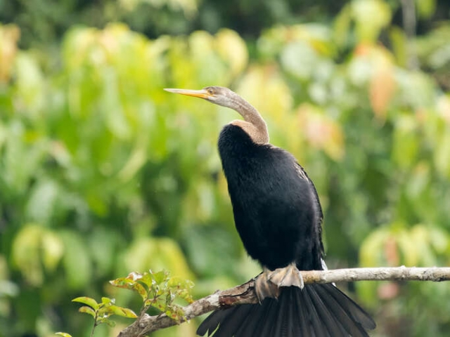 Oriental Darter - Perched on a Branch