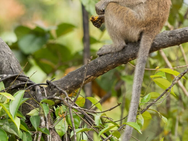 Long-tailed Macaque - I'm not sharing my dinner