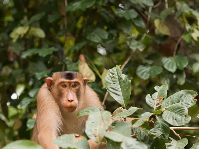 Pig-tailed Macaque - Peak a boo