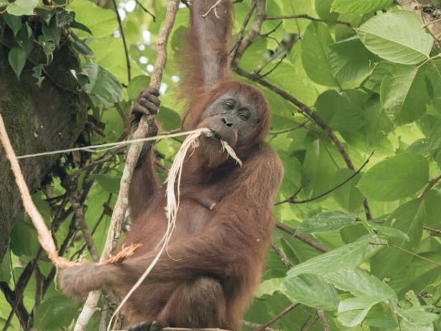 Orangutan - This Bark Is Stringy
