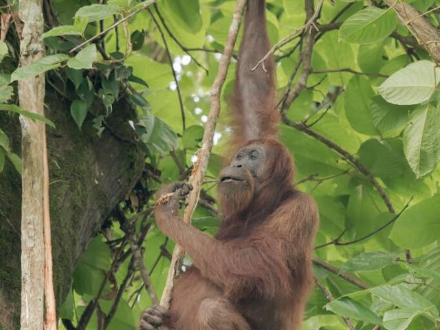 Orangutan - Tasty Fruit