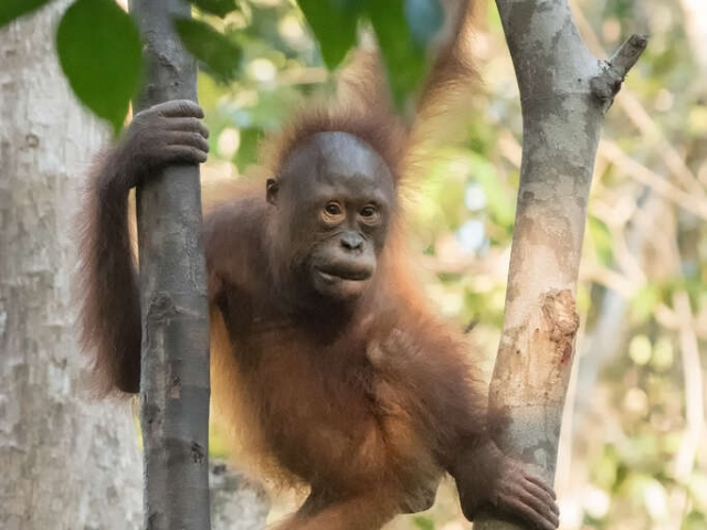 Orangutan - Getting to Grips with Trees