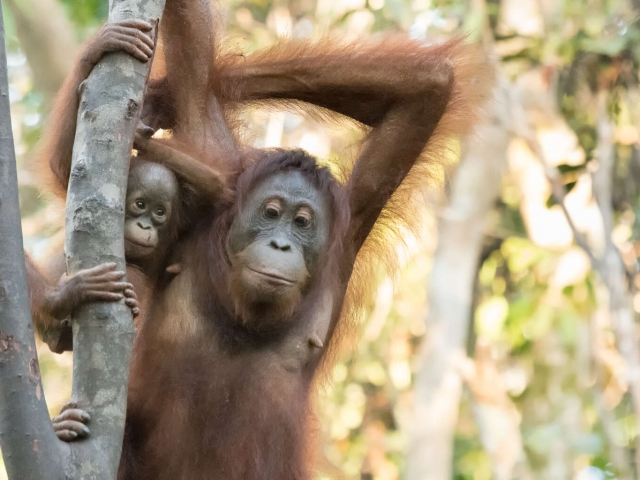 Orangutan - Reflective Mother with baby