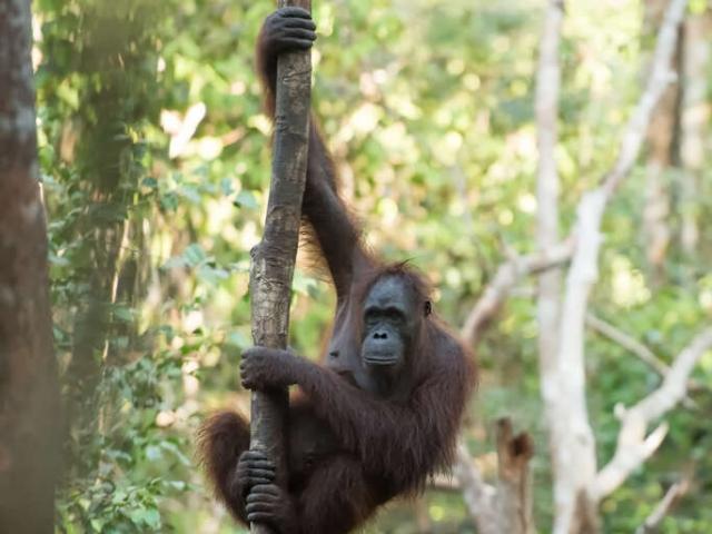 Orangutan - Down the Pole