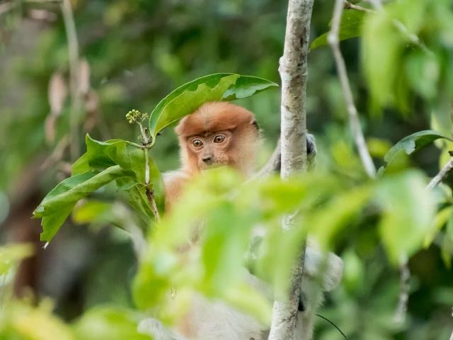 Proboscis Monkey - Thoughtful