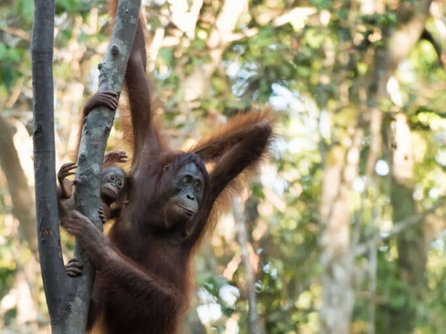 Orangutan - Hold on Tight