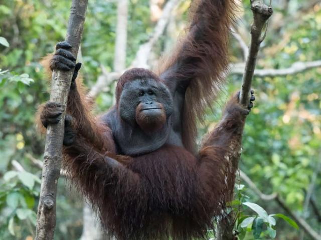 Orangutan - Manic Male