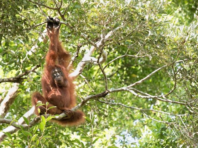 Orangutan - Ready to Swing