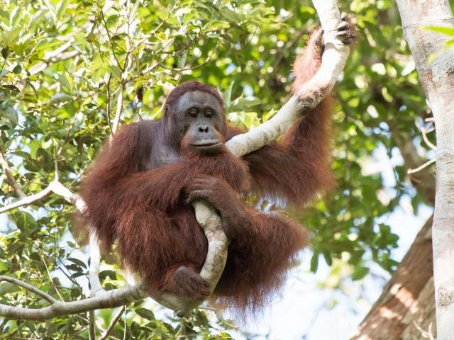 Orangutan - Contemplation