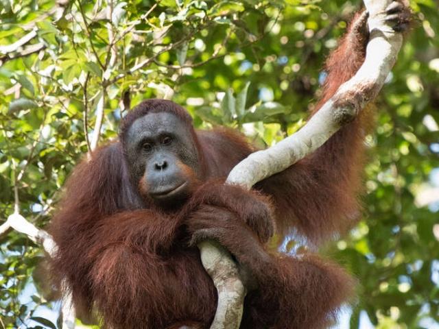 Orangutan - Designer Branch