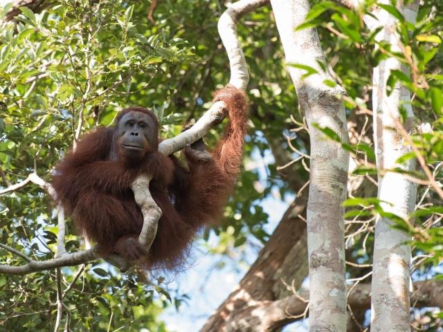 Orangutan - Resting Point