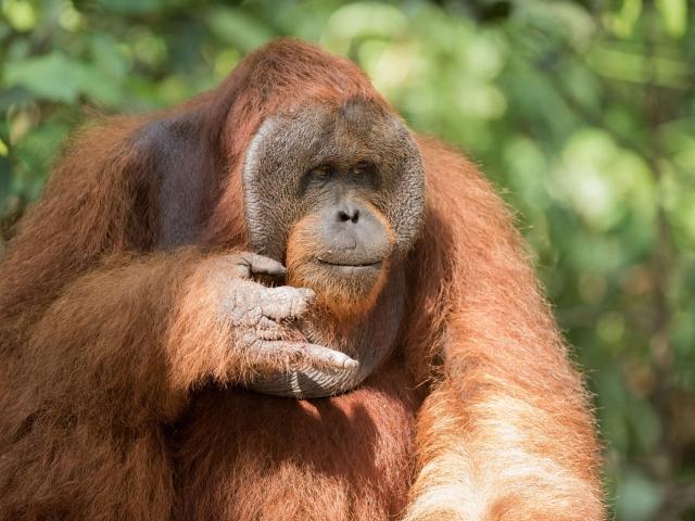 Orangutan - How many?