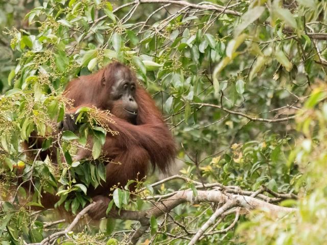 Orangutan - Picking Seeds