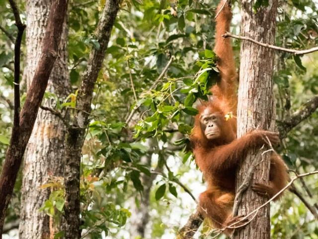 Orangutan - Scowler