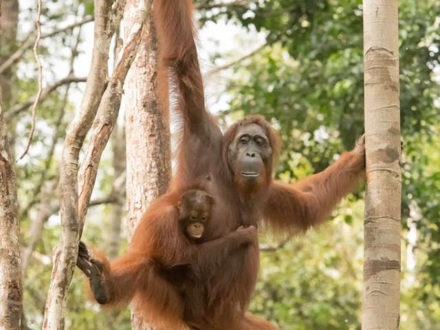 Orangutan - Tread Carefully