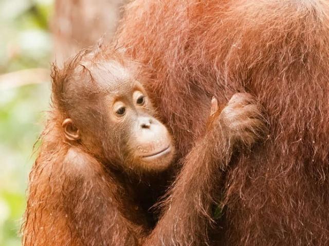 Orangutan - Looking for Ticks