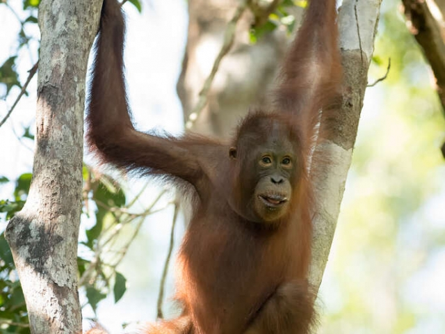Orangutan - Baby hold on Tight