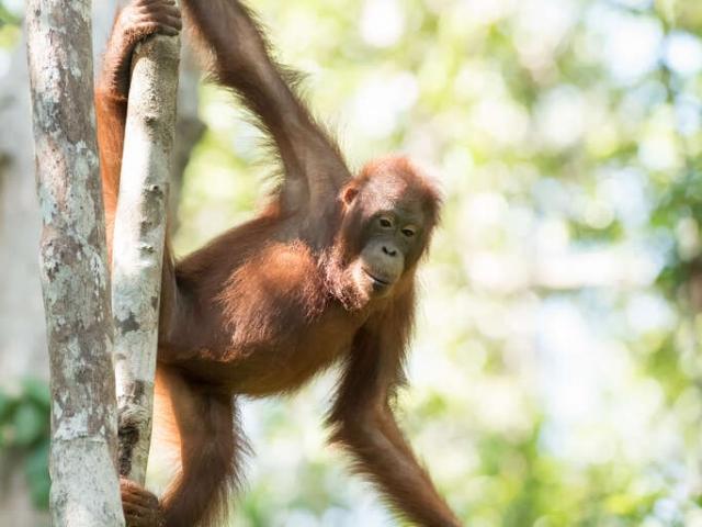Orangutan - Up Here