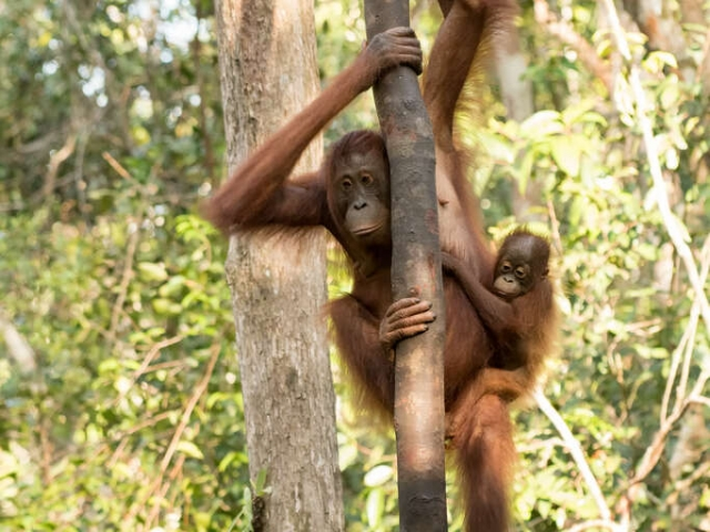 Orangutan - Dont look Down