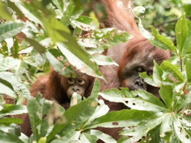 Orangutan - Peakaboo