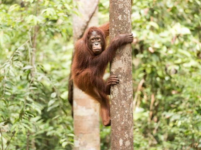 Orangutan - I Am