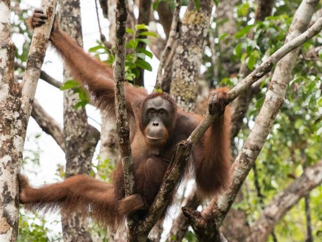Orangutan - Precarious Pose