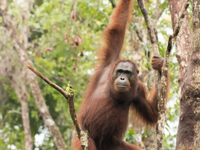Orangutan - Hold on to that Branch