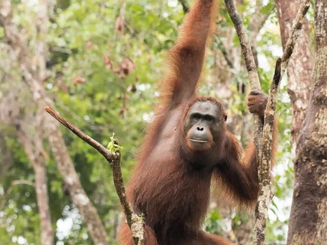 Orangutan - Hold on to that Branch