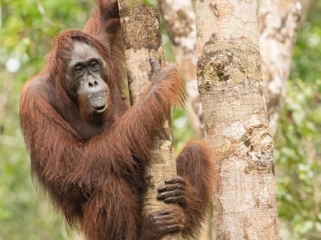 Orangutan - Tree Hugger