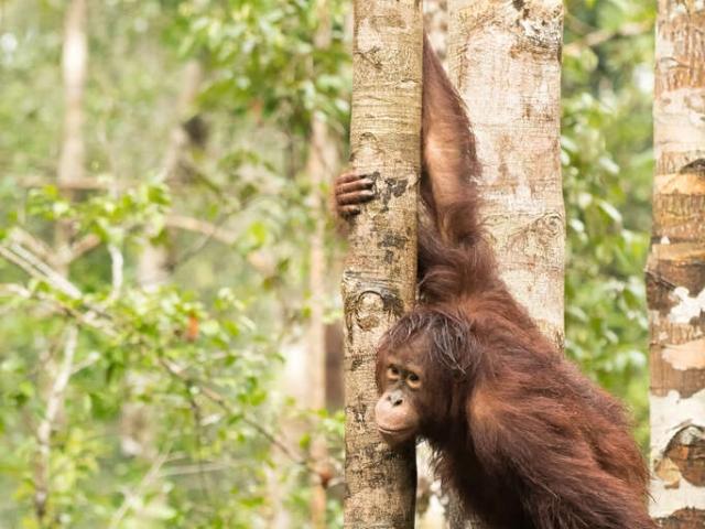 Orangutan - Looking out